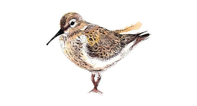 Dunlin Illustration, watercolour and fine line pen by Ella Johnston for The Migrant Waders