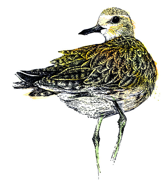 Golden Plover Illustration, Watercolour and fine line pen by Ella Johnston, for The Migrant Waders