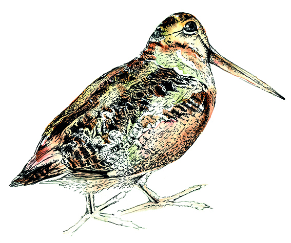 Woodcock Illustration, watercolour and fine line pen by Ella Johnston for The Migrant Waders