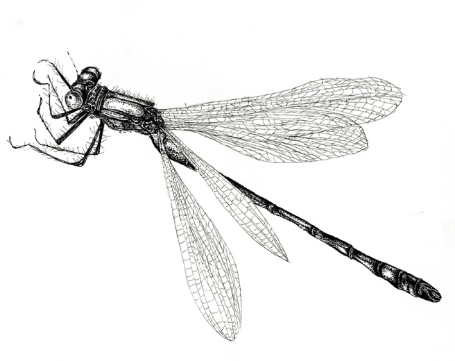 Scarce Emerald Damsel Fly drawing by Ella Johnston, The Orphaned Spaces (c) Dunlin Press